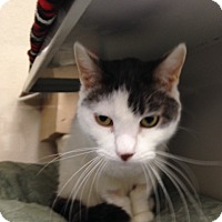 Adopt A Pet :: Mr. Whiskers - Gilbert, AZ