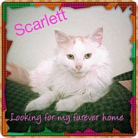 Adopt A Pet :: Scarlet - Central Islip, NY