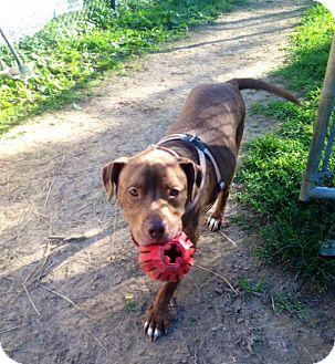 American Pit Bull Terrier/Labrador Retriever Mix Dog for adoption in Salem, Ohio - Brooklyn