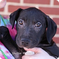 Adopt A Pet :: Patch *adoption pending* - Manassas, VA