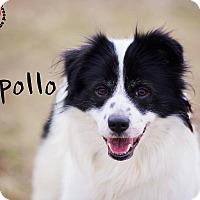 Adopt A Pet :: Apollo - Joliet, IL