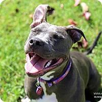 Adopt A Pet :: Lana - La Habra, CA