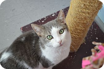 Domestic Shorthair Cat for adoption in House Springs, Missouri - Jackson