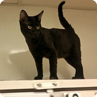 Domestic Shorthair Cat for adoption in Indianola, Iowa - C10
