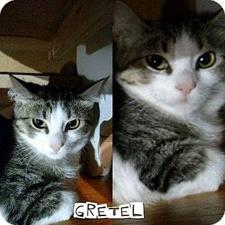 Domestic Shorthair Kitten for adoption in New Milford, Connecticut - Gretel