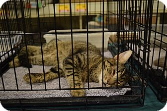 Domestic Shorthair Cat for adoption in Washington, Pennsylvania - Martin