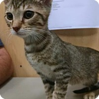 Adopt A Pet :: Studmuffin - Bloomingdale, IL