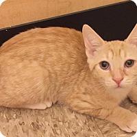 Adopt A Pet :: Bronzer - Apex, NC