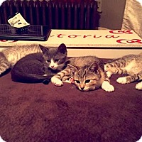 Adopt A Pet :: Kittens-Female - Acushnet, MA