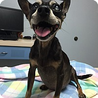 Chihuahua/Miniature Pinscher Mix Dog for adoption in Corona, California - Carmelina Diabetic Sweet Baby