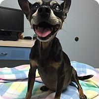Adopt A Pet :: Carmelina Diabetic Sweet Baby - Corona, CA