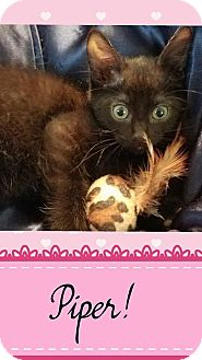 Domestic Mediumhair Kitten for adoption in Mansfield, Texas - Piper