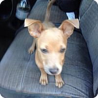 Adopt A Pet :: Khaki - Forked River, NJ