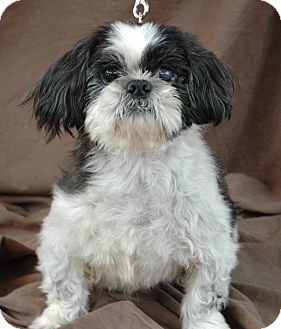 Shih Tzu Mix Dog for adoption in Plainfield, Connecticut - Grayson