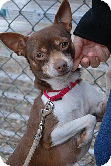 Chihuahua Mix Dog for adoption in Berea, Ohio - Rascal