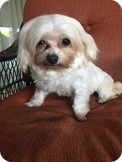 Maltese Dog for adoption in La Verne, California - Gigi
