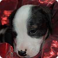Labrador Retriever/Blue Heeler Mix Puppy for adoption in Lebanon, Tennessee - TINKER