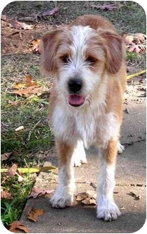 Bearded Collie Terrier Mix