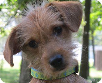 ... Puppy | LM | Washington, DC | Yorkie, Yorkshire Terrier/Dachshund Mix