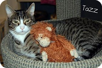 Domestic Shorthair Cat for adoption in River Edge, New Jersey - Tazz