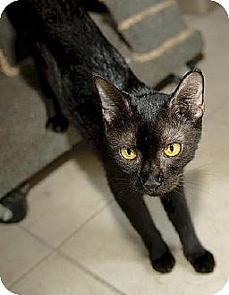 Domestic Shorthair Cat for adoption in Thibodaux, Louisiana - Stella FE2-9052