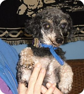 Toy Poodle Dog for adoption in Tulsa, Oklahoma - Alester