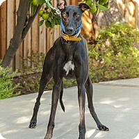 Adopt A Pet :: Zircon - Walnut Creek, CA