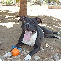 Adopt A Pet :: Shelly - San Diego, CA