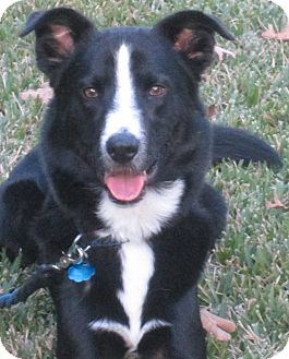 Border Collie/Australian Cattle Dog Mix Dog for adoption in Houston, Texas - Watson