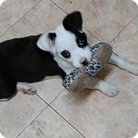 Adopt A Pet :: Ivy - Brattleboro, VT