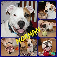 Adopt A Pet :: Norman - Ft Worth, TX