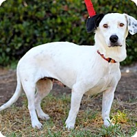 Beagle/Dalmatian Mix Dog for adoption in San Diego, California - Lilly King