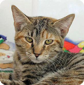 Domestic Shorthair Cat for adoption in Mountain Center, California - Lavendar