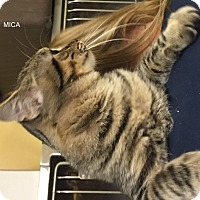 Domestic Shorthair Cat for adoption in Hibbing, Minnesota - MICA