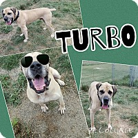 Great Dane/Mastiff Mix Dog for adoption in Bryan, Ohio - Turbo