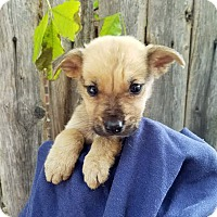 Shepherd (Unknown Type)/Terrier (Unknown Type, Medium) Mix Puppy for adoption in Detroit, Michigan - Chucky - Coming Soon