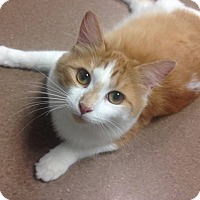 Domestic Longhair Cat for adoption in Hendersonville, North Carolina - Mariah