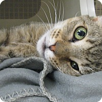 Abyssinian Cat for adoption in Brea, California - M O L L Y