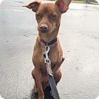 Adopt A Pet :: DAN - Sacramento, CA