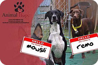 Pointer Dog for adoption in Fort Worth, Texas - Mowgli