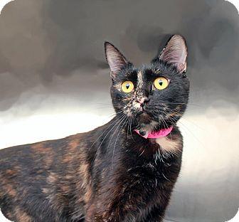 Domestic Shorthair Cat for adoption in North Las Vegas, Nevada - Violet