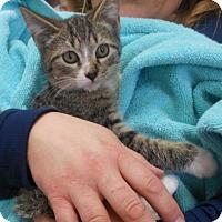 Domestic Shorthair Kitten for adoption in Reston, Virginia - Chip