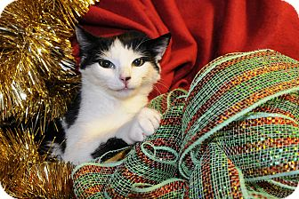 Domestic Shorthair Kitten for adoption in Wayne, New Jersey - Brinley
