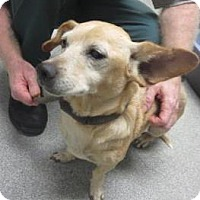 Dachshund/Feist Mix Dog for adoption in Lincolnton, North Carolina - Winnie
