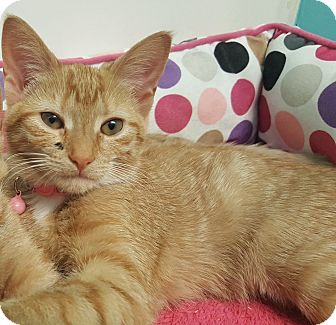 Domestic Shorthair Kitten for adoption in Stafford, Virginia - Cindy Crawford