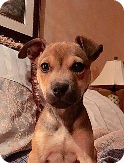 German Shepherd Dog/Labrador Retriever Mix Puppy for adoption in Nyack, New York - Brienne