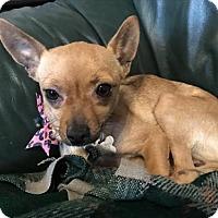 Adopt A Pet :: Livy - Phoenix, AZ