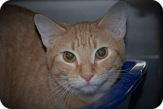 Domestic Shorthair Cat for adoption in Wilmington, Ohio - Rocket