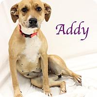 Adopt A Pet :: Addy - Bradenton, FL