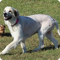 Great Pyrenees Mix Dog for adoption in Kyle, Texas - Sally Sue